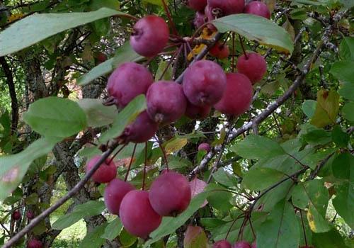 Malus purpurea Eleyi-termés