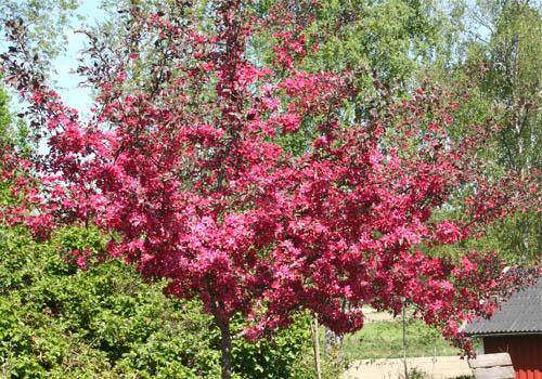 Malus purpurea -piroslevelű díszalma