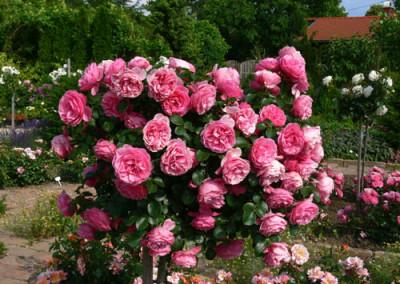 négy-évszak-kertészet-siófok-áruda- (31)