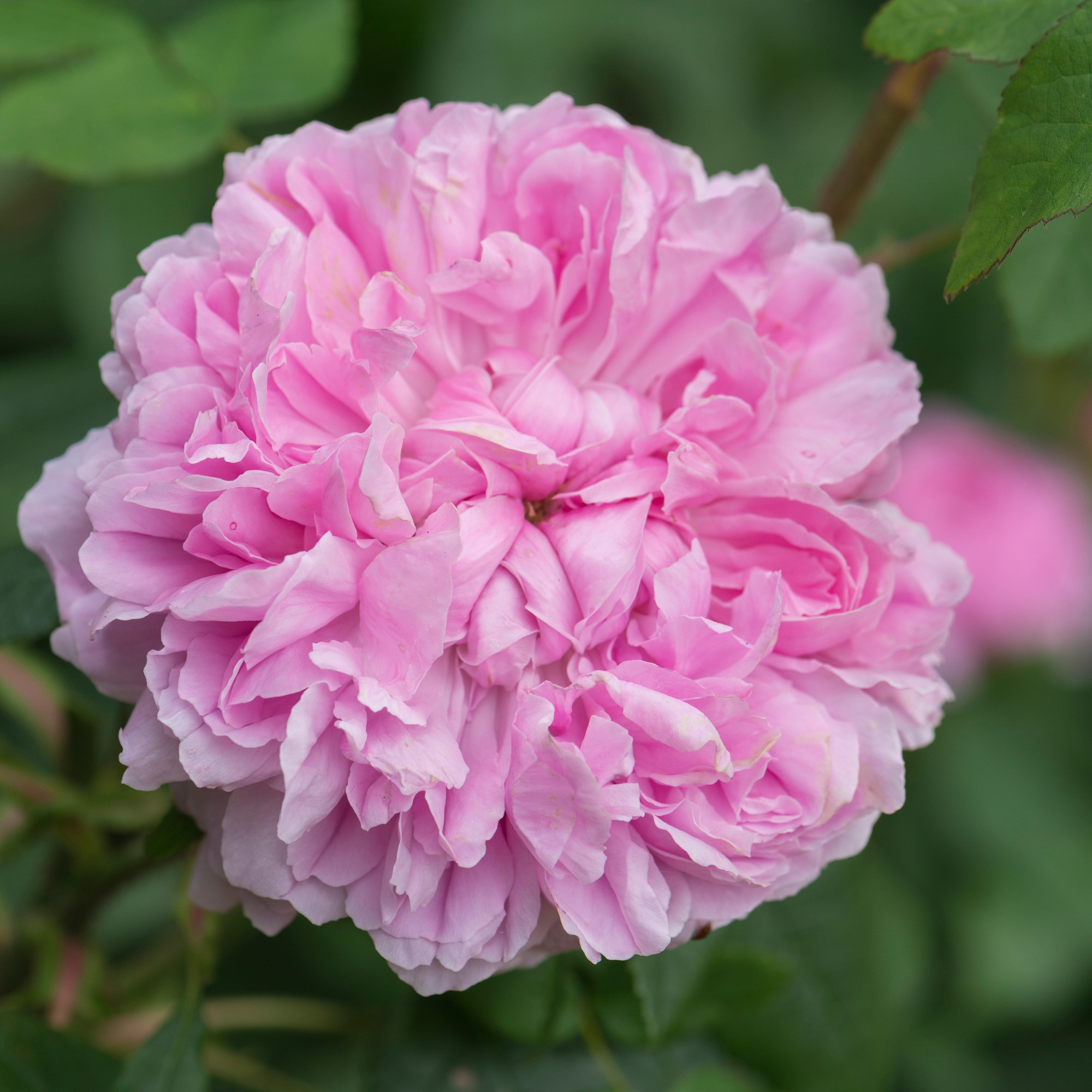 Jacques-Cartier-rose
